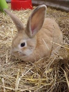 2 x Beautiful Flemish Giant X Rabbits ***$30 each*** Hahndorf Mount Barker Area Preview