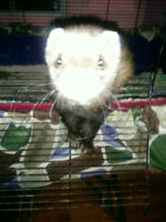 Ferret for sale