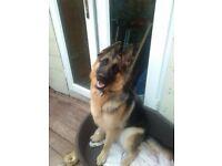 German Sheppard dog {bitch }