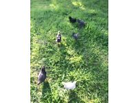 Pekins bantams hens chicks poultry