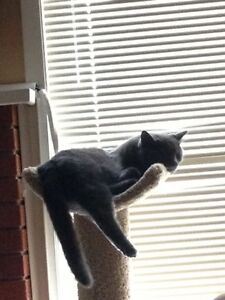 Grey male cat lost Still missing Sherwood Park