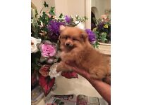 male pomeranian puppy for sale at £750 no offers