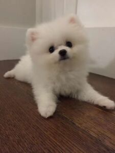 WHITE TOY POMERANIAN PUPPY *RARE*