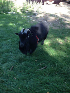 Mini Goat Buck 3 years proven producer Possible trade Kawartha Lakes Peterborough Area image 1