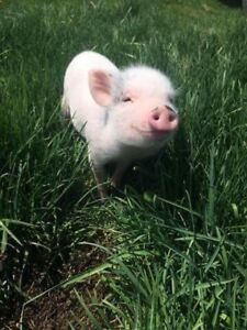 Mini potbelly pigs available!