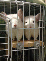 Female chinchillas