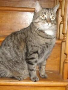 Adult Male  - Domestic Short Hair - brown-Tabby - Brown
