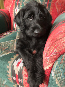 Male Labradoodle Puppy. SOLD