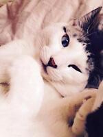 "Adult Male Cat - Siamese-Domestic Short Hair: ""Roman"""