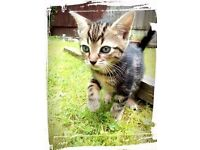 Beautiful Bengal X kittens ready to go now..