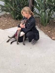 """Senior Female Dog - American Staffordshire Terrier: """"Charlette"""""""