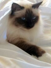 FOR SALE Birman Pedigree, with papers Labrador Gold Coast City Preview
