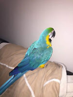 Beautiful blue and gold macaw --------> MUST SEE HIM :)