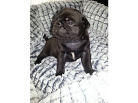 Beautiful black pug for sale