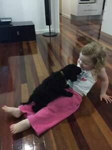 Pedigreed Purebred Standard Poodle Pups For Sale Caboolture Caboolture Area Preview