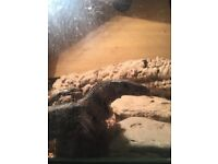 For sale-Roughneck monitor.Varanus Rudicollis.