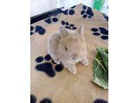 Netherland bunnies
