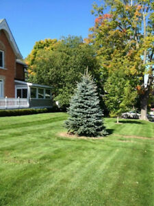 Colorado Blue Spruce White Spruce Trees For Sale Quantity Discs