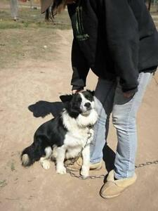 Border Collie Geham Toowoomba Surrounds Preview