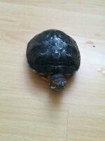 red ear slider turtle baby WITH FOOD
