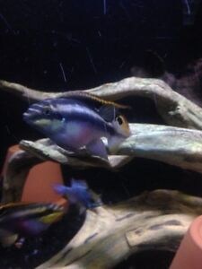adult male kribensis cichlid for sale