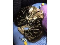 Two Gorgeous Tabby Females for Sale