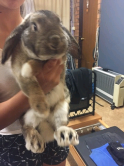 Netherlands Lop Ear Rabbit / Bunny