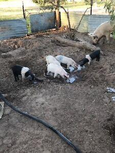 Large white x piglets Goondiwindi Goondiwindi Area Preview