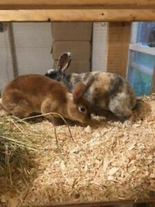 2 lapine mini rex a donner