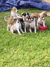 Whippet pups Gawler Gawler Area Preview