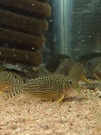 group of sterbia corys