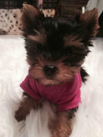 Tcup Yorkie Girl For Sale