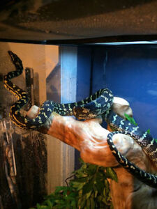 Carpet Jungle snake GREAT PRICE
