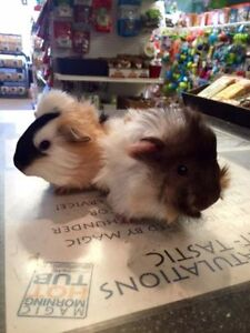 Baby guinea pigs, male and females