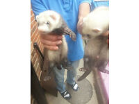 Brother and Sister ferrets for sale with cage.