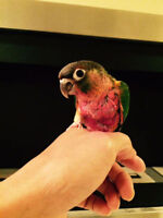 ♥☆.¸¸.•´¯`♥ Baby Conures with Cage and Food ♥☆.¸¸.•´¯`♥