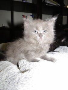 Beautiful Kittens to Beautiful People