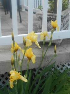 Yellow or purple iris perennial plant for trade (NEXT SUMMER)