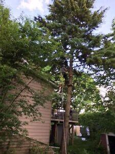 Tree Removal >Tree Triming, Pruning,Stump Removal Kitchener / Waterloo Kitchener Area image 2