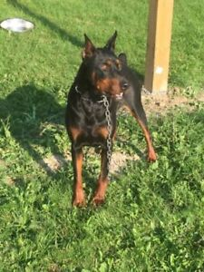 Purebred European Doberman Pinscher puppies with Cropped Ears