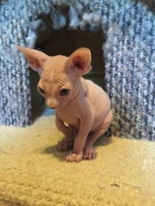 Beautiful Sphynx Kitten Available!!! WEEKEND SPECIAL