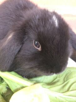 Beautiful VM VC mini lop pure breed baby ready now