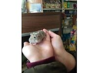 Baby dwarf and Syrian hamsters