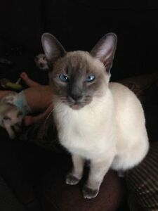 beautiful siamese kittens** only one male left** London Ontario image 5