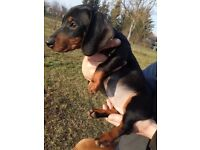 Dachshund dog - girl puppy