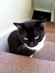 Adult Male  - Domestic Short Hair (Black & White)