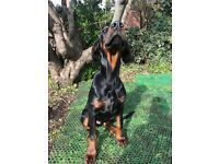 5 month Pedigree Doberman to rehome