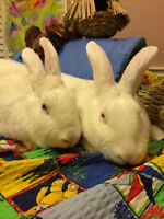 RESCUE BUNNIES- Hi we are a bonded pair that needs a loving home