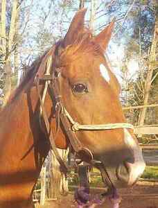 Qh chestnut mare Booie South Burnett Area Preview