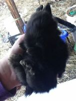 Adorable Lop Bunnies and Lion Head cross Bunnies for sale!